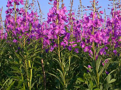 Organic Ivan Tea - Fermented Rosebay Willowherb, 35g / VEGAN